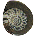 Ammonite Button Fossil - Small