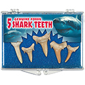 Genuine Fossil - 5 Shark Teeth