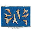 Fossil Shark Teeth Educational Box