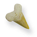 Fossil Shark Teeth 1""