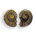 Fossil Ammonite Matched Halves
