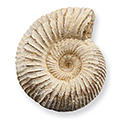 White Ammonite