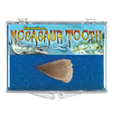 Fossil Mosasaur Tooth Educational Box