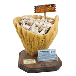 Sponge Display with Fossil Shark's Teeth