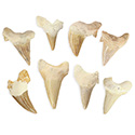 Fossil Shark Tooth - B Quality